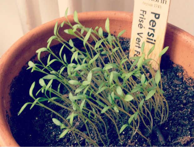 planting_herbs_thinning_1
