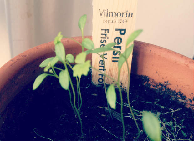 planting_herbs_thinning_2