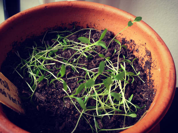 planting_herbs_thinning_3