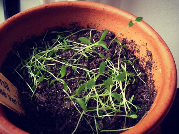 planting_herbs_thinning_3